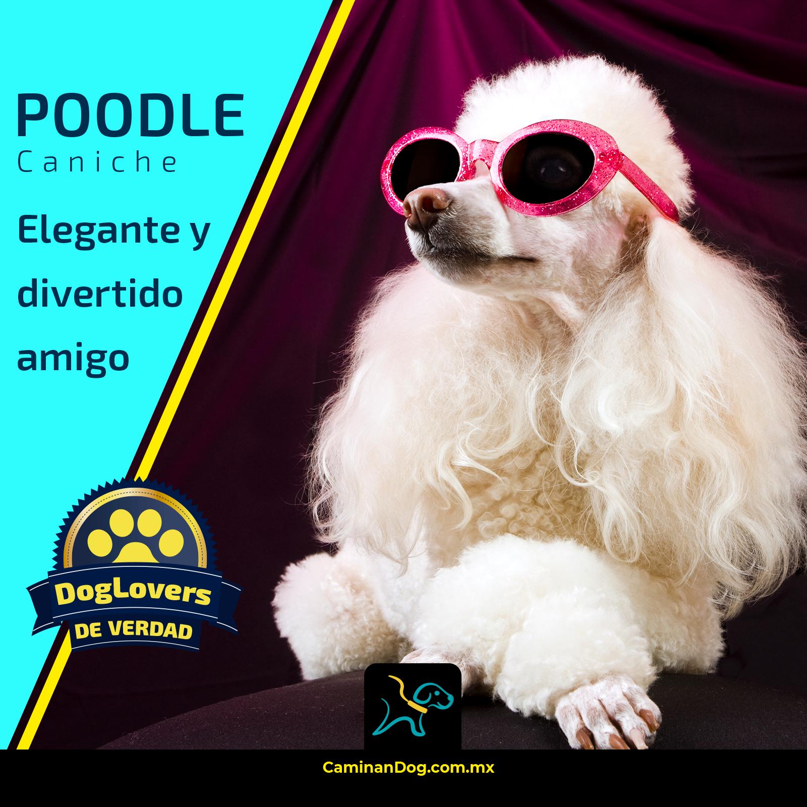 El Poodle